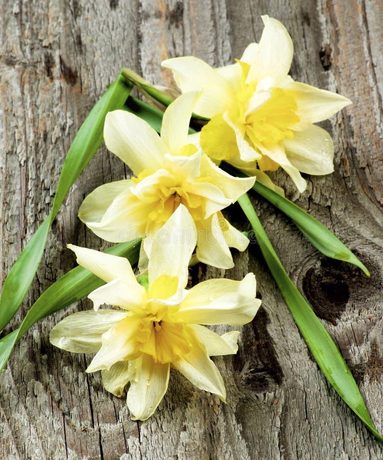 De lente Terry Daffodils stock afbeeldingen
