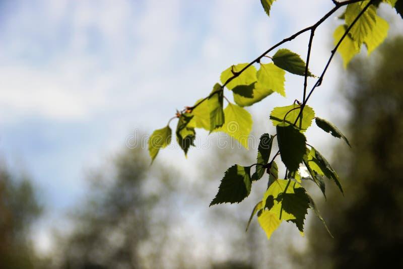 De lente is de tijd van het bloeien en allergische reacties Berktak met bladeren, blauwe hemel met witte wolken stock foto's