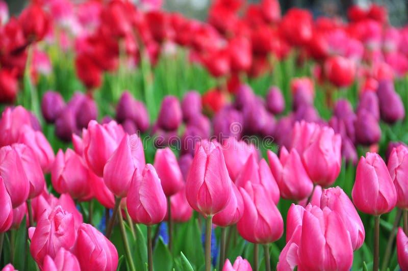 De lente toneel - Kleurrijke tulpentuin op de lenteachtergrond stock afbeelding