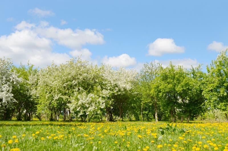 De lente Tot bloei komende Apple-bomen en paardebloemen stock foto's