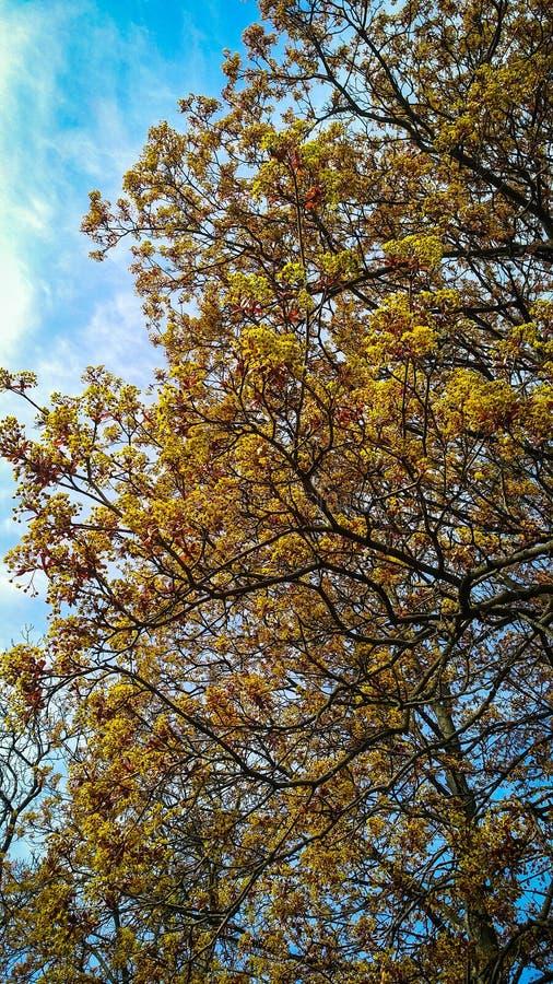 De lente tot bloei komende gele boom met blauwe hemel royalty-vrije stock fotografie
