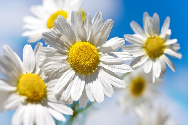 De lente in tuin en gebieden met wilde bloemen: margriet tegen blauwe hemel - matricariaperforata/Reukloze Mayweed stock afbeeldingen