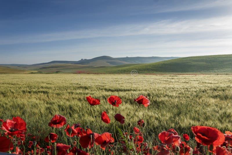 de lente Tussen Apulia en Basilicata: heuvelig landschap met groene cornfields Italië royalty-vrije stock foto's