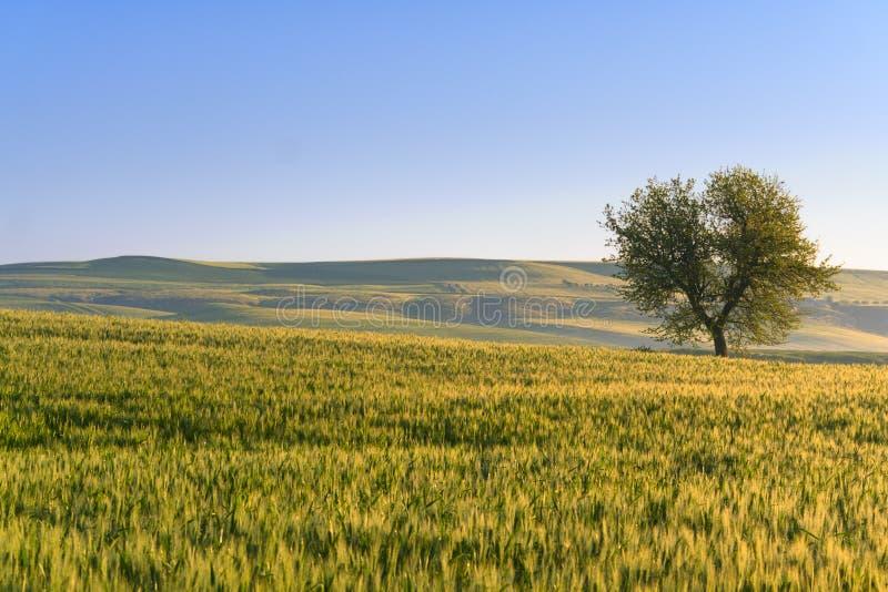 de lente Tussen Apulia en Basilicata: heuvelig landschap met tarwegebied en eenzame boom Italië stock fotografie