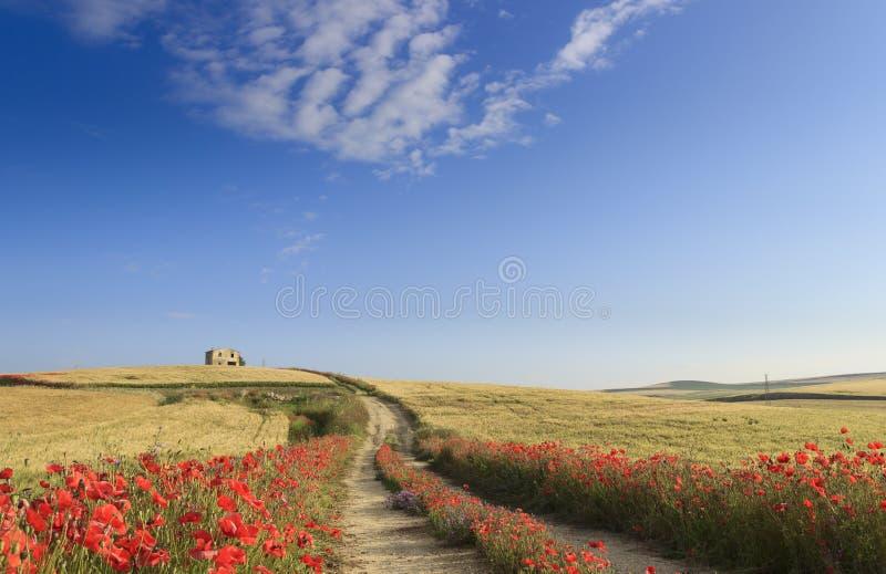 de lente Tussen Apulia en Basilicata, Italië Heuvelig landschap met boerderij en landweg door het eindpapavers van het tarwegebie royalty-vrije stock foto