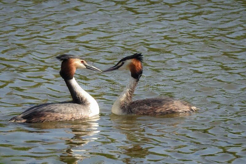 De lente: twee futen in het water royalty-vrije stock foto