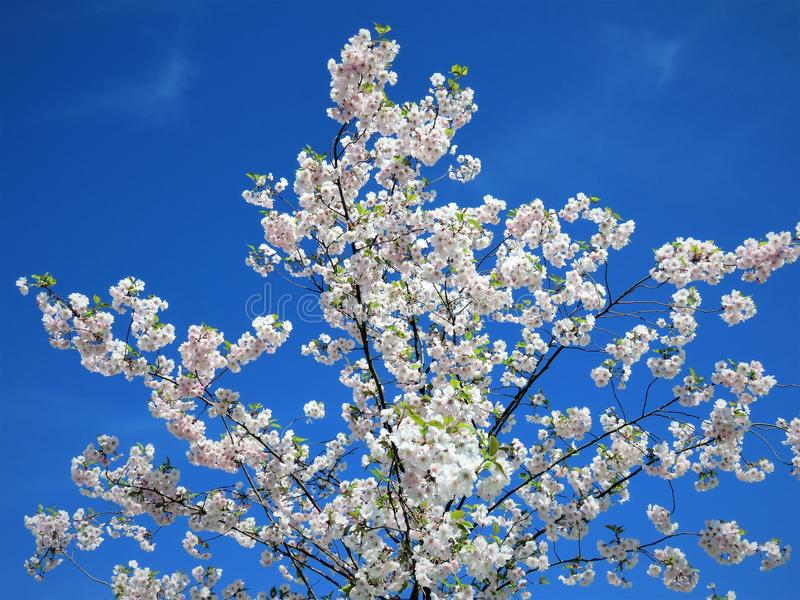 In de lente van Estland De hemel duidelijk blauw 2018 van de Sakurakleur royalty-vrije stock foto's