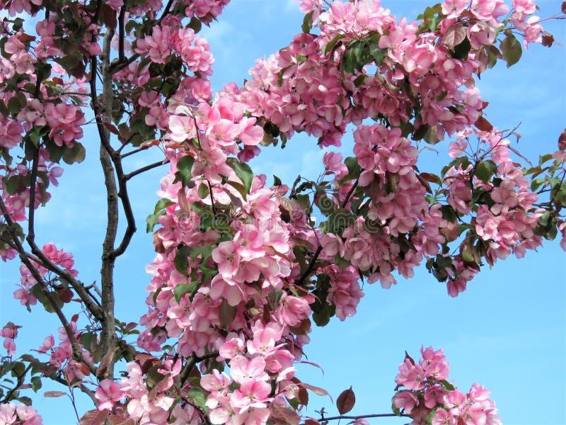 In de lente van Estland De hemel duidelijk blauw 2018 van de Sakurakleur stock foto's