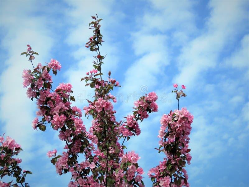 In de lente van Estland De hemel duidelijk blauw 2018 van de Sakurakleur royalty-vrije stock foto