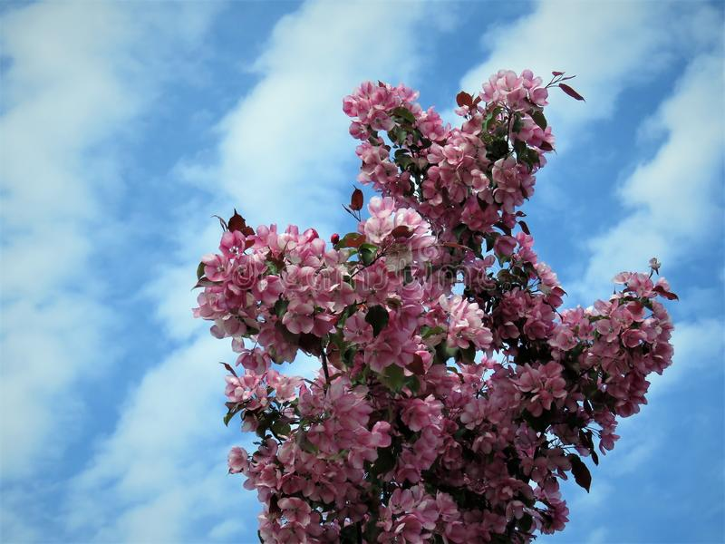 In de lente van Estland De hemel duidelijk blauw 2018 van de Sakurakleur royalty-vrije stock afbeeldingen