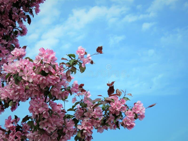 In de lente van Estland De hemel duidelijk blauw 2018 van de Sakurakleur royalty-vrije stock fotografie