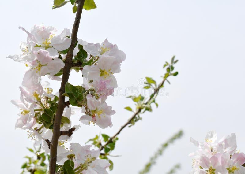 De lente van de voorraadfoto bloeit prachtig tot bloei komende boomtak royalty-vrije stock fotografie