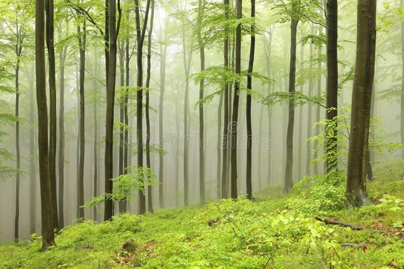 De lente vergankelijk bos in de mist royalty-vrije stock foto's