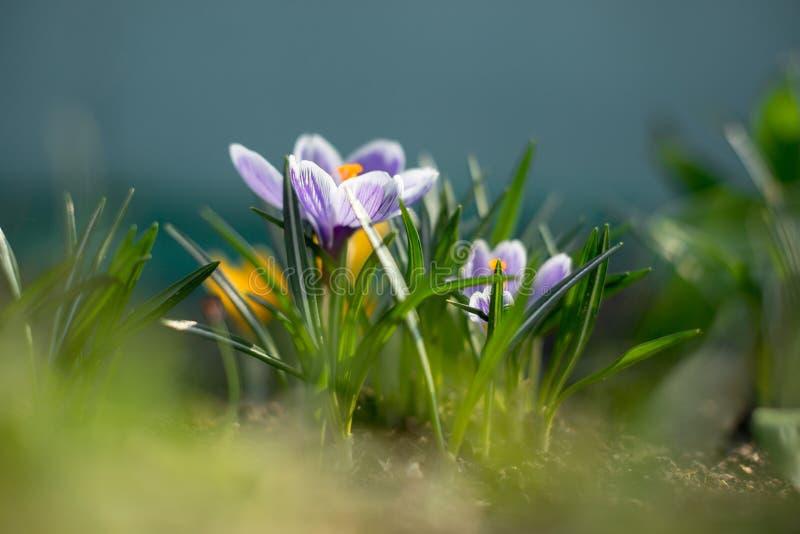 De lente vroege jonge krokussen in heldere zonstralen royalty-vrije stock foto's