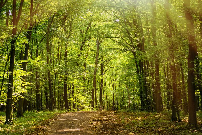 De lente warme dag in de bos de Zomer warme zonnige dag in de forestBright groene bos natuurlijke gang in zonnig daglicht Zon stock foto's