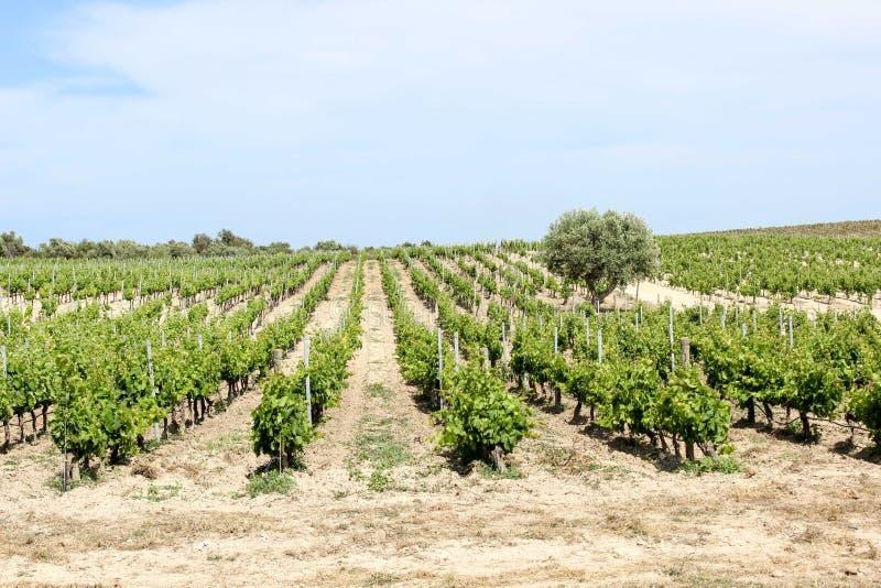 De lente in de wijngaard, Sicilië stock afbeelding