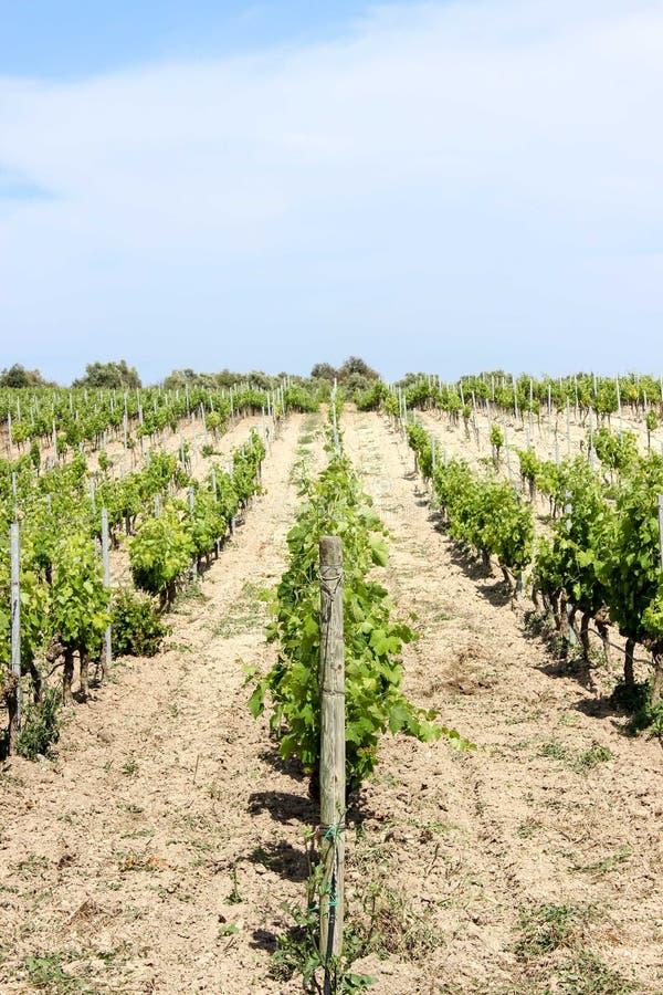 De lente in de wijngaard, Sicilië royalty-vrije stock foto