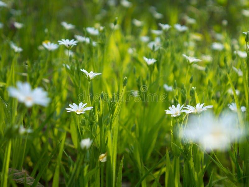 De lente wit wild bloemen en gras op de zon stock afbeeldingen
