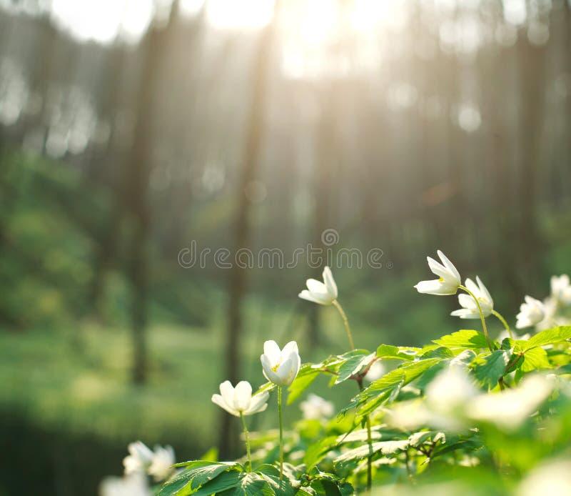 De lente witte bloemen die in bos op achtergrond van dageraad bloeien royalty-vrije stock afbeelding