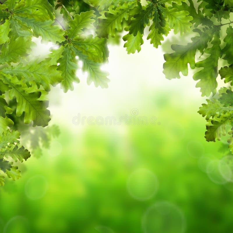 De lente of de Zomerachtergrond met de Eiken Bladeren van Greeen stock afbeeldingen