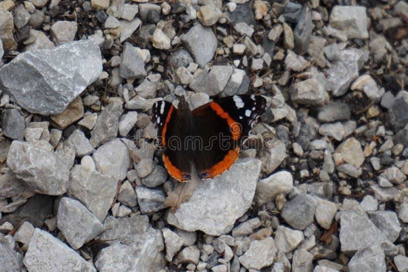 In de lente, zonnebaadt de Vlinder in de zonzitting op een steen stock foto's