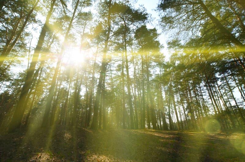 De lente zonnig landschap in een pijnboombos in helder zonlicht Comfortabele bosdieruimte onder de pijnbomen, met gevallen kegels stock foto