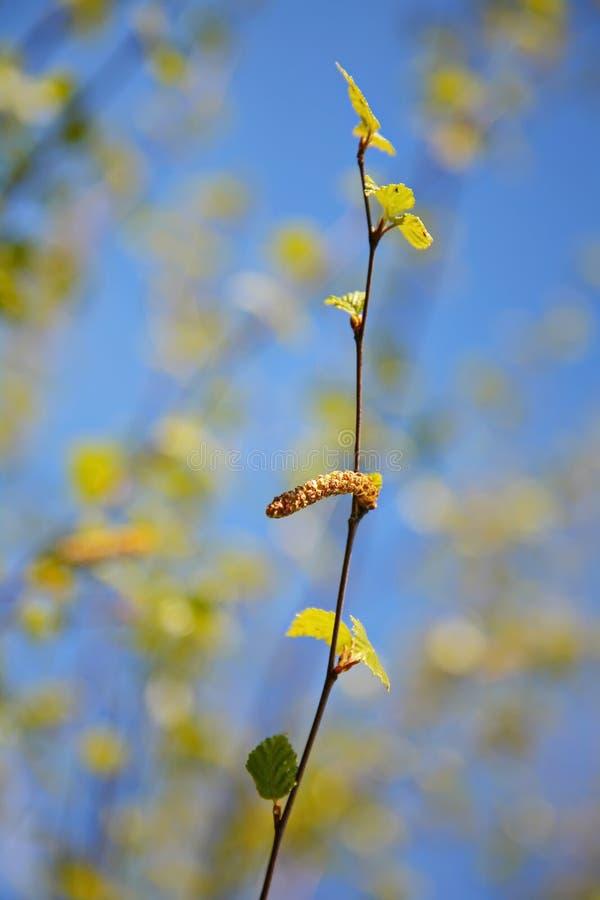 De lente, Zonnige dag, de jonge groene bladeren van berkboom op een tak op blauwe hemelachtergrond De knoppen van de berk stock fotografie
