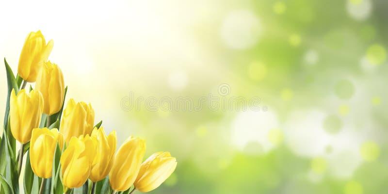 De lenteachtergrond met Gele Tulp royalty-vrije stock afbeeldingen