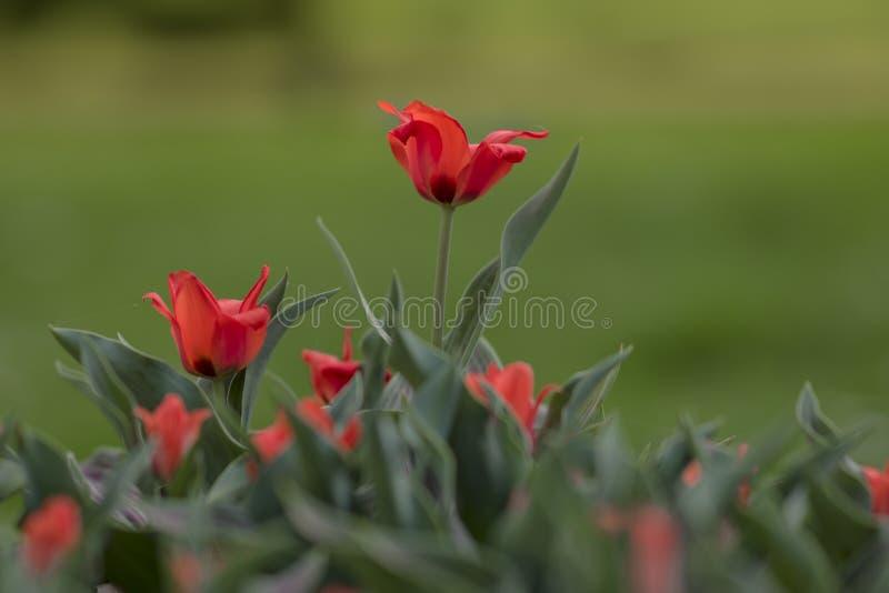 De lenteachtergrond met kleine rode tulpen royalty-vrije stock afbeelding