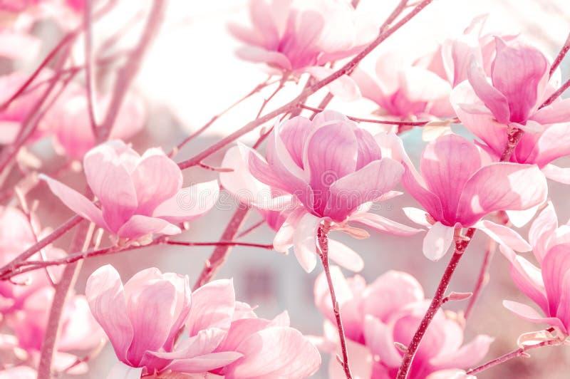 De lenteachtergrond met roze mooie magnolia's Het bloeien magno stock foto's