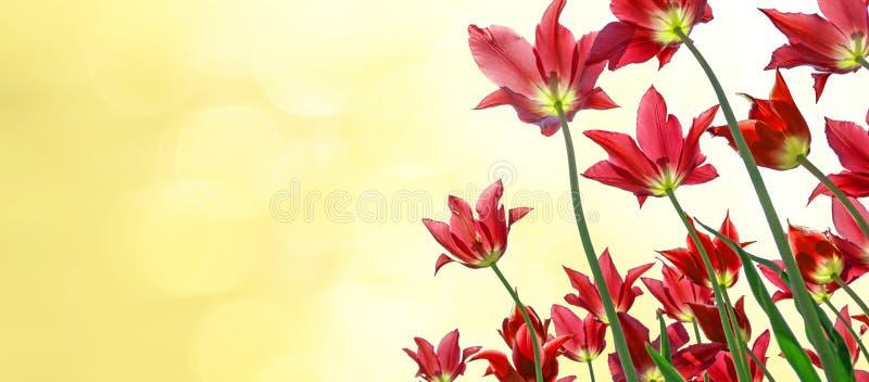 De lenteachtergrond - rode tulpen en zonnige vage achtergrond stock afbeelding