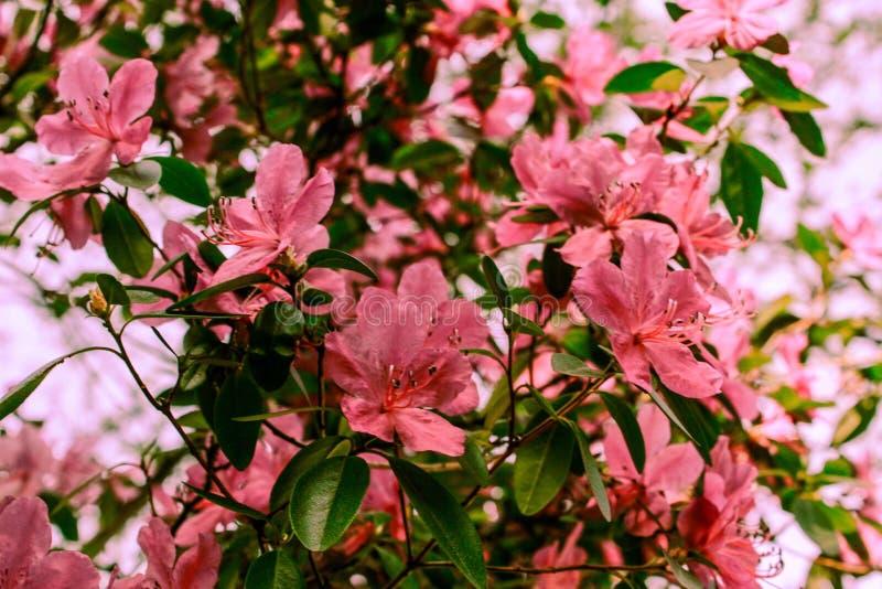 De lenteachtergrond van bloeiende bloemen Witte en roze bloemen Mooie aardsc?ne met een bloeiende boom enkel Geregend stock foto's