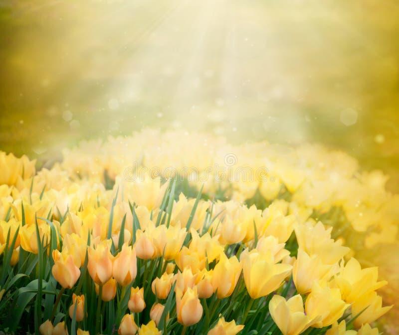 De lenteachtergrond van tulpen stock fotografie