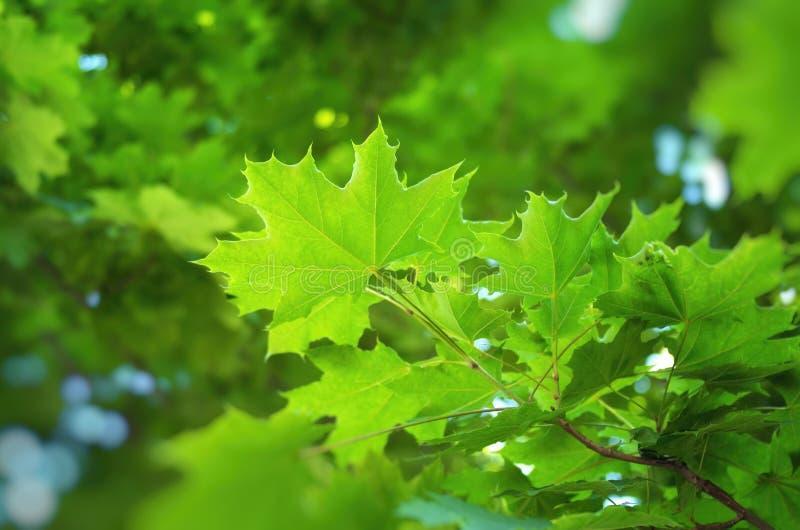 De lenteblad van kastanje stock afbeeldingen
