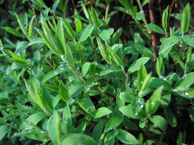 De lentebladeren na de regen Foto in mijn tuin wordt genomen die royalty-vrije stock afbeeldingen