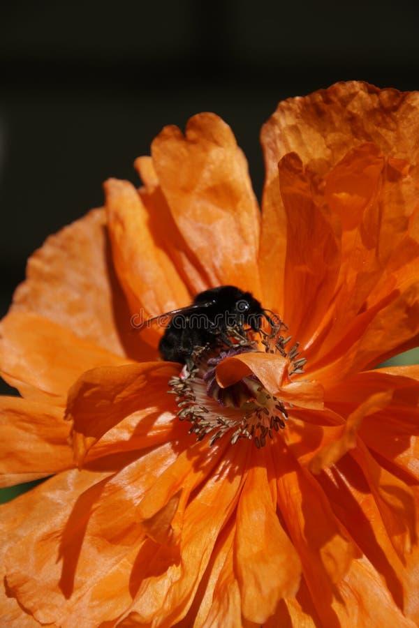 De lentebloei Mei Charme en magisch van aard Zwarte hommel op scharlaken papaverbloem Mooie bloembloemblaadjes royalty-vrije stock afbeeldingen