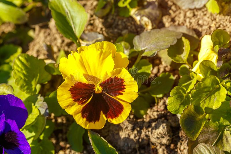 De lentebloem die pansies in het bloembed bloeien stock afbeeldingen