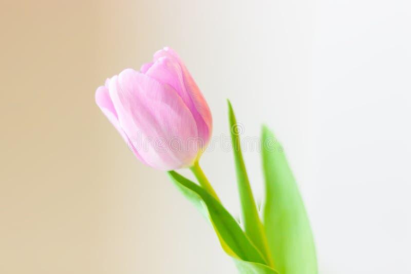 De lentebloem, roze tulp op een zachte achtergrond De groetkaart van Pasen of van de Valentijnskaartendag stock fotografie