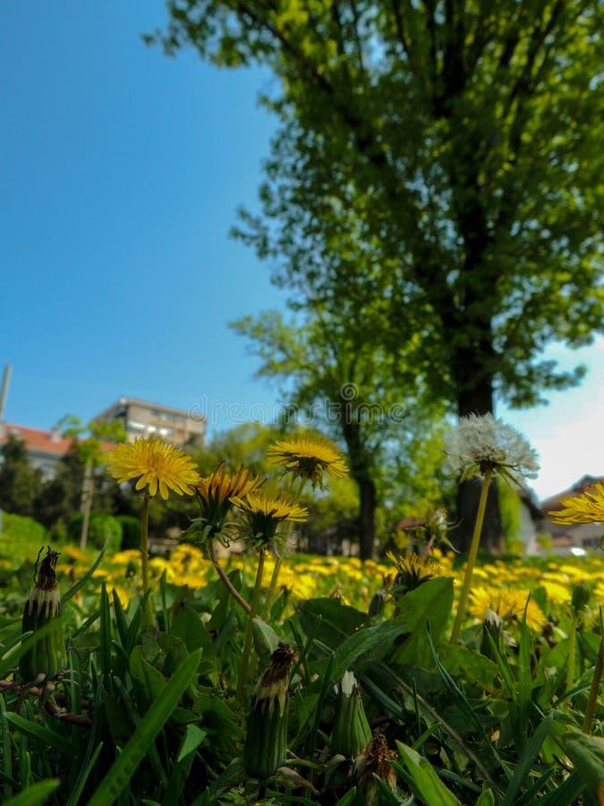 De lentebloemen in Belgrado stock foto