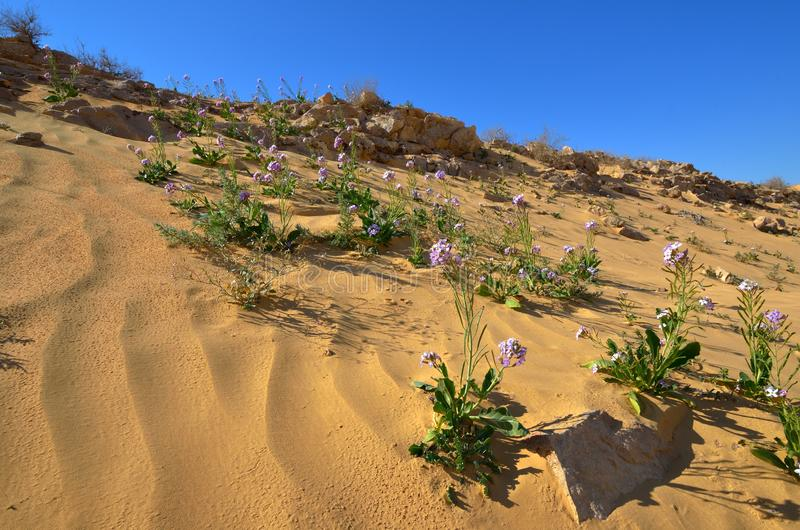 De lentebloemen in de Woestijn stock afbeelding