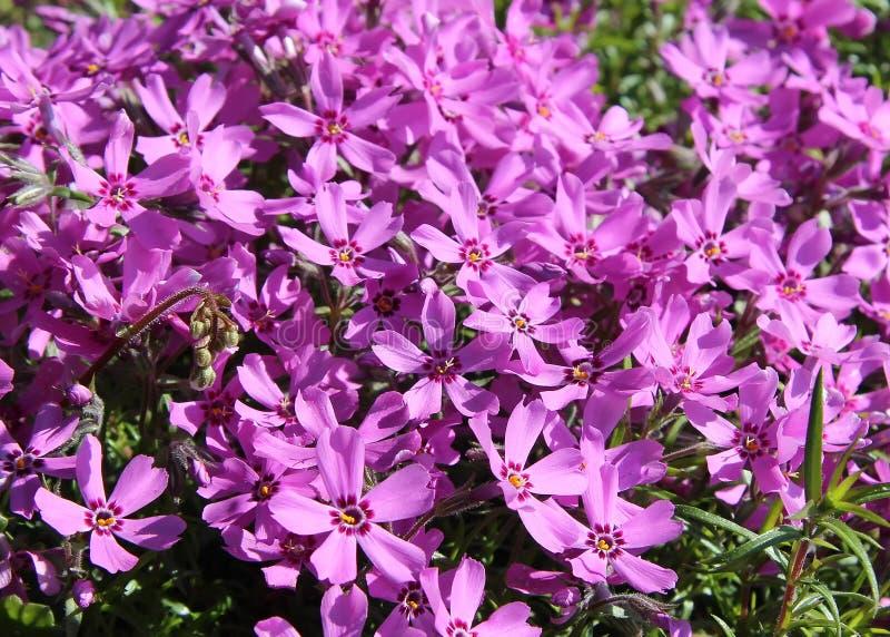 De lentebloemen, Dianthus deltoides royalty-vrije stock foto's