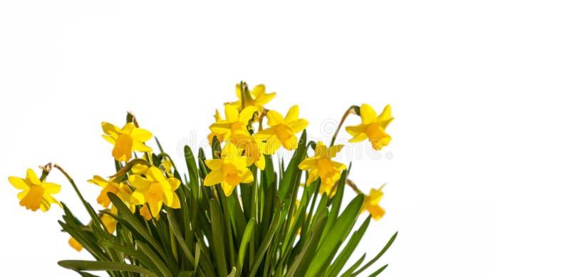 De lentebloemen, gele gele narcissen op witte achtergrond stock fotografie