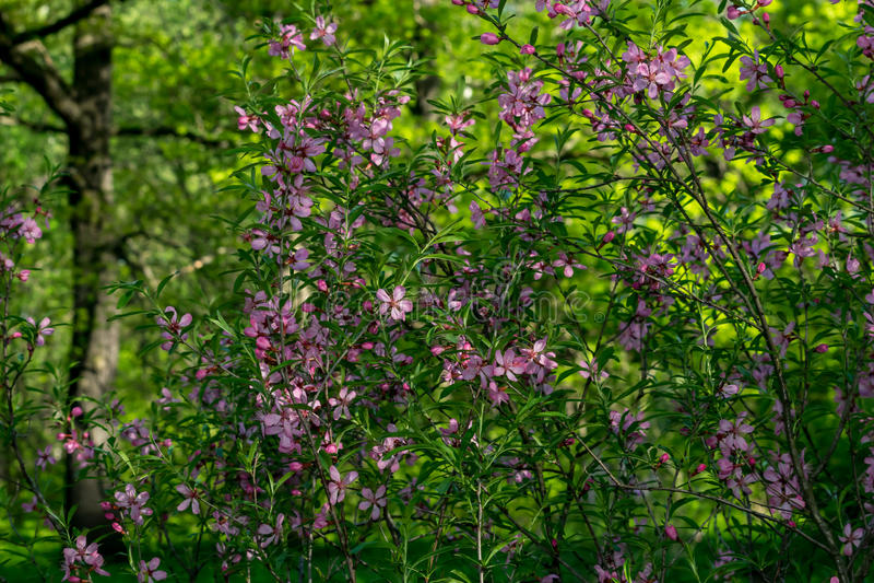 De lentebloemen, kersenbloesems royalty-vrije stock foto