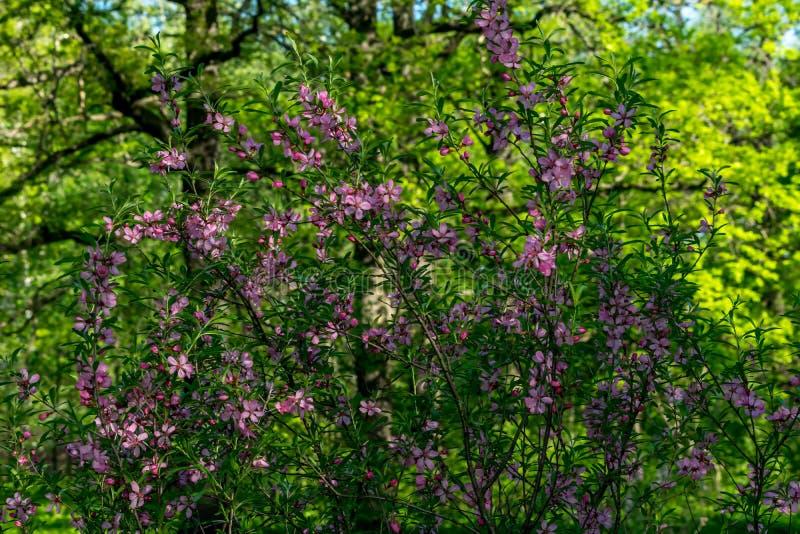 De lentebloemen, kersenbloesems stock afbeelding