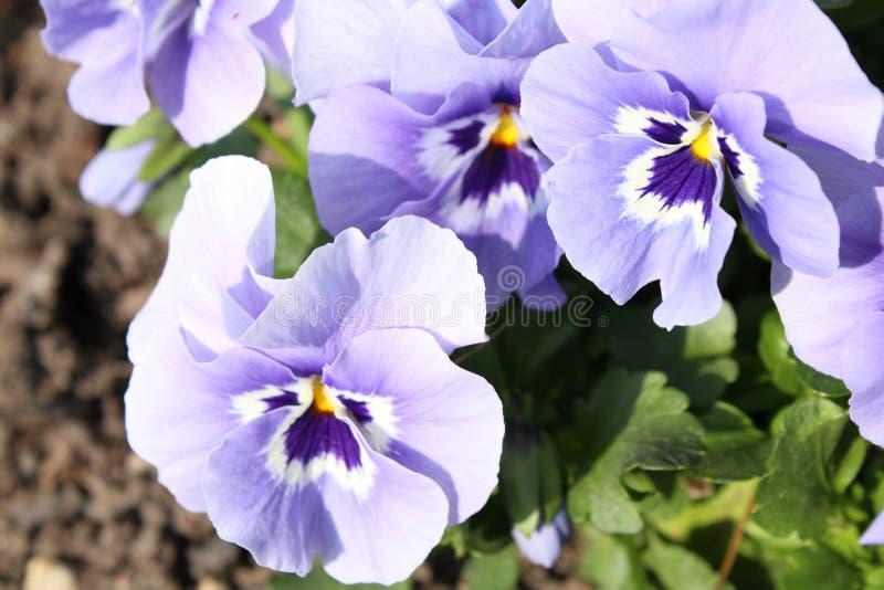 De lentebloemen met blauwe bloemblaadjes stock afbeelding