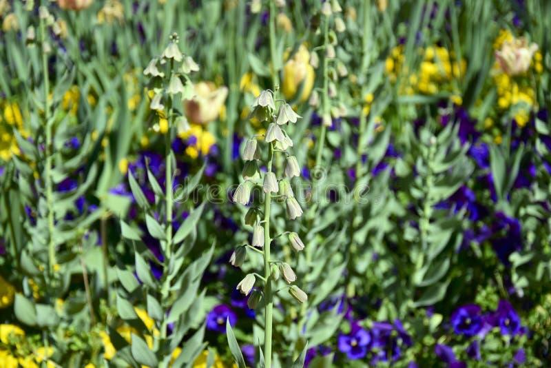 De lentebloemen op de tuinachtergrond Klokbloem dichte omhooggaand stock fotografie