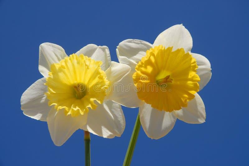 De lentebloemen, twee mooie gele narcissen tegen blauwe hemel stock foto's