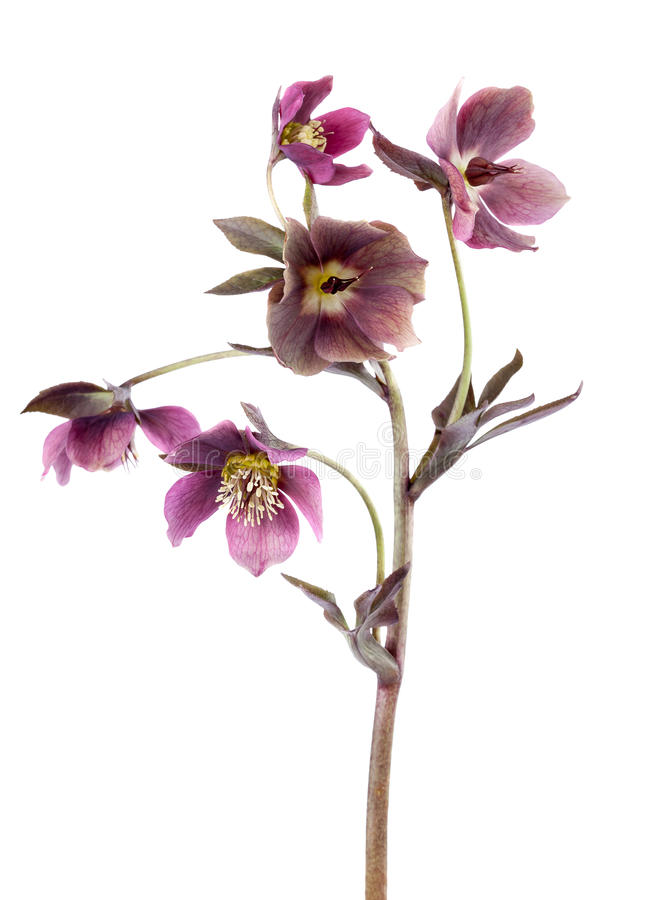 De lentebloemen van hellebore die op witte verticale samenstelling wordt geïsoleerd stock foto