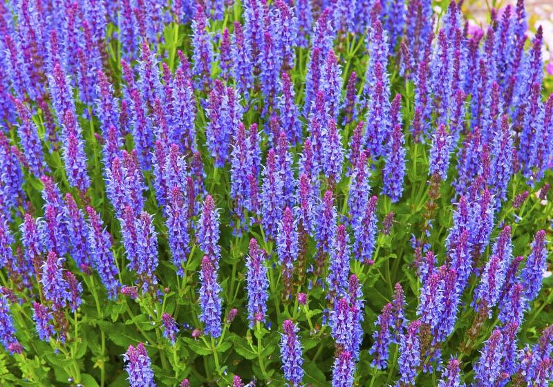 De lentebloemen van mooie blauwe salie royalty-vrije stock fotografie