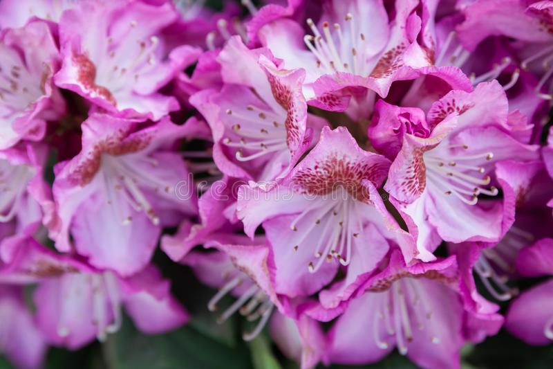 De lentebloemen van de rododendronspecies stock fotografie
